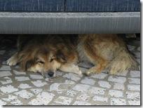 Lazzy dog... Sigishoara (Schäßburg)